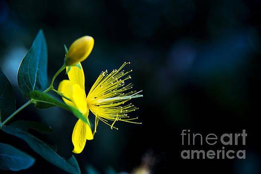 Flower 17 by Bener Kavukcuoglu