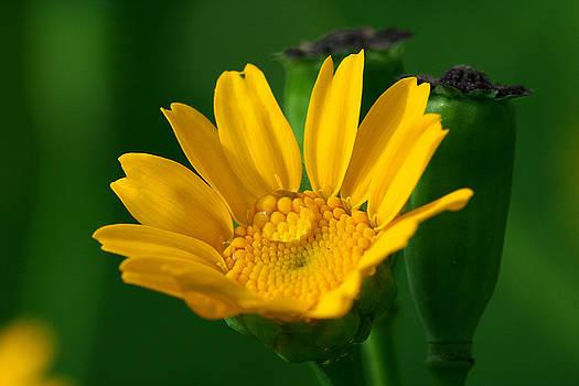 Yuri Peress - Flower 2