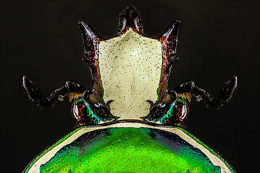 Flower Chafer Beetle 3X by Gary Shepard