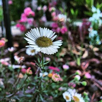 #flower #flowers #daisy #garden #colors by Sean Kalimi