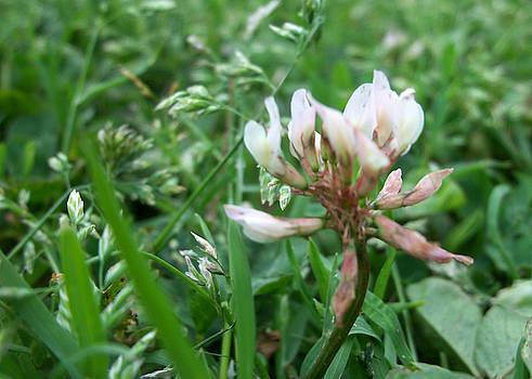 Tila - Flower in Field