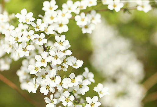 Flower Of Spring by Hyuntae Kim
