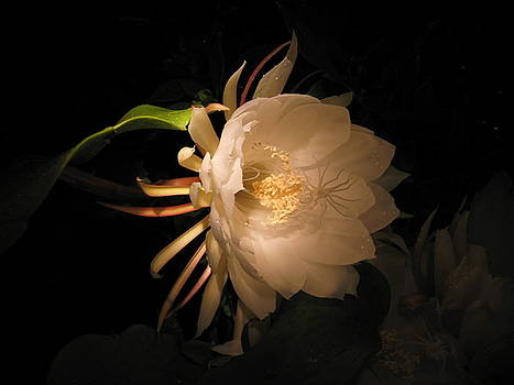 Flower of the Night 04 by Andrea Jean