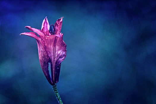 Flower on blue background by Roberto Pagani