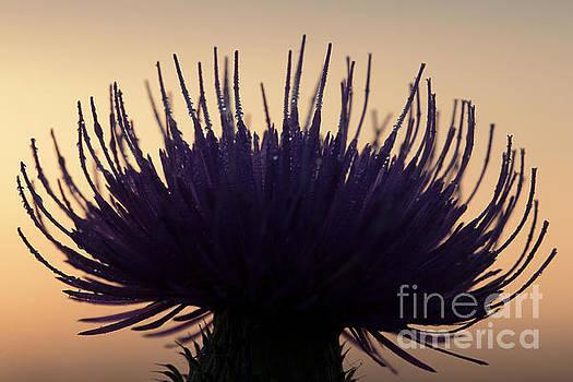 Flower silhouette by Odon Czintos