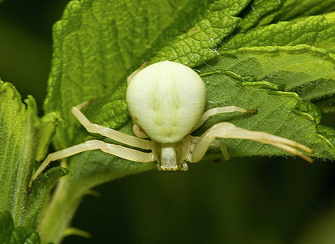 Flower spider by Jouko Mikkola