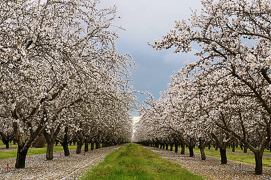Reimar Gaertner - Flowering almond tree grove blossoms in California