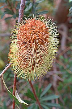 Flowering Banksia by Peter Krause