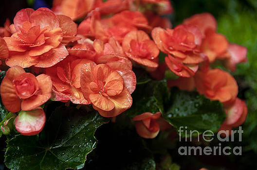 Flowering Begonias by Leonardo Fanini