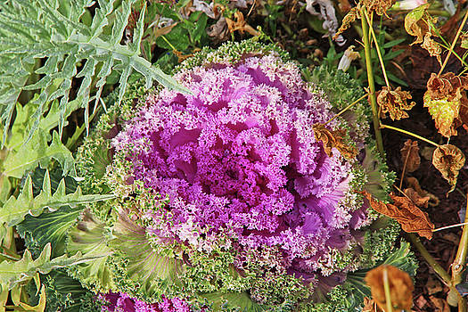 Flowering Cabbage Deep Pinks Green Foliage Brown Leaves 2 10222017 Colorado by David Frederick