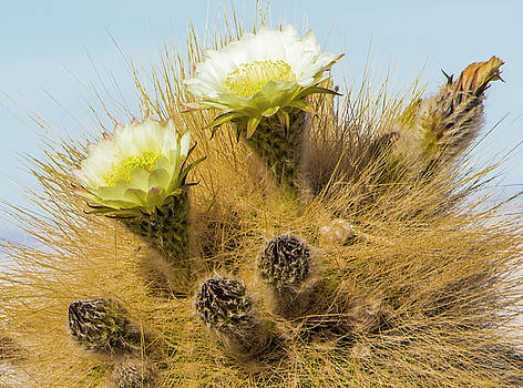 Flowering Cactus, Bolivia by Venetia Featherstone-Witty
