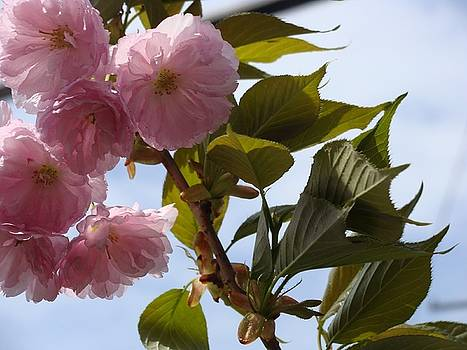 Flowering Cherry by Anthony Seeker