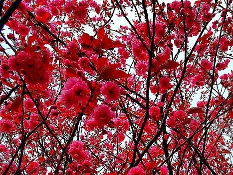 Colin Drysdale - Flowering Cherry In Full Bloom
