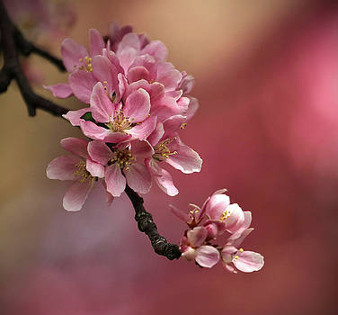 Flowering Cherry by Kelly Lucero