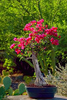 LeeAnn McLaneGoetz McLaneGoetzStudioLLCcom - Flowering Desert Bougainvillea