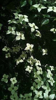 Flowering Dogwood  by Connie Young