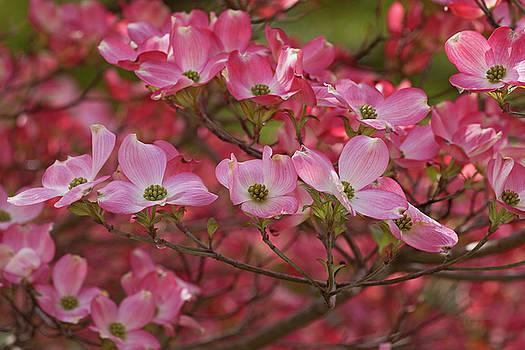 Flowering dogwood flowers 01 by Nick Kurzenko