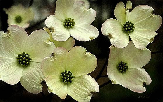 Flowering Dogwood by James C Thomas