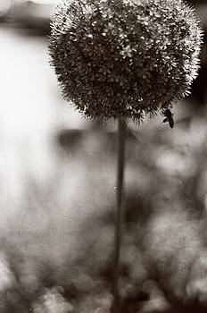 Flowering Garlic by Linnea Tober