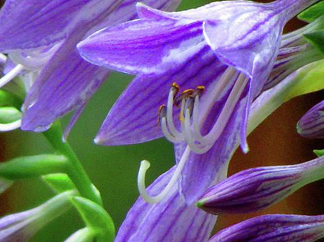 Flowering Hosta by Art By ONYX