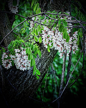 Flowering Locust  by Michael Putnam