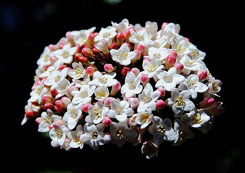 Allen Nice-Webb - Flowering Pear Tree Blossoms