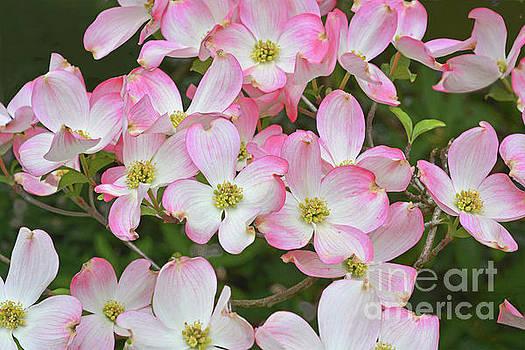 Regina Geoghan - Flowering Pink Dogwood
