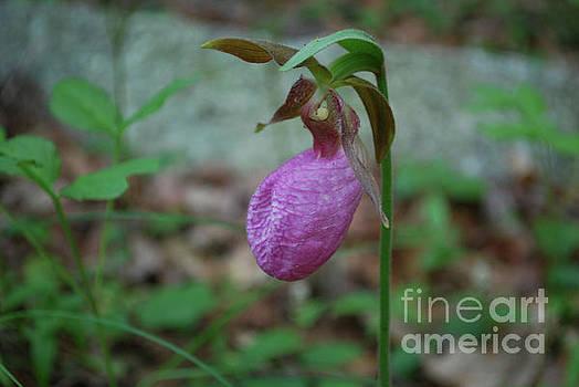Flowering Pink Ladies Slipper Flower Blossom in the Wild by DejaVu Designs