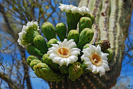 Flowering Saguaro by Bob O'Dean