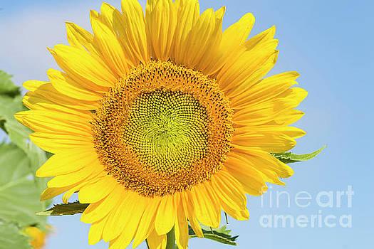 Flowering sunflower in field in summer morning sun by Carl Chapman