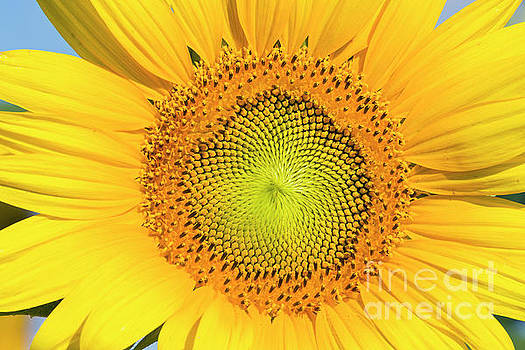 Flowering sunflower in summer morning sun by Carl Chapman