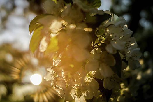 Flowering tree at sunrise by Sven Brogren