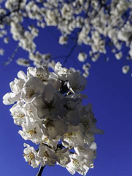 Flowering Tree by Kelly E Schultz