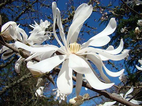 Baslee Troutman - Flowering Trees Art Prints White Magnolia Flowers Baslee Troutman