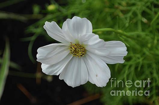 Flowering White Cosmos Flower Blossom by DejaVu Designs