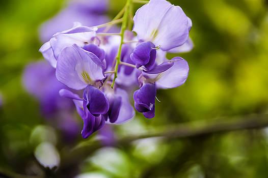 Chris Coffee - Flowering Wisteria sinensis