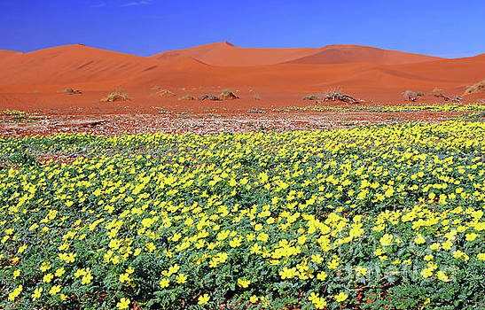 Flowers at Sossusvlei, Namib-Desert, Namibia by Wibke W