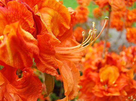 Baslee Troutman - Flowers Azalea Garden Orange Azalea Flowers 1 Giclee Prints Baslee Troutman
