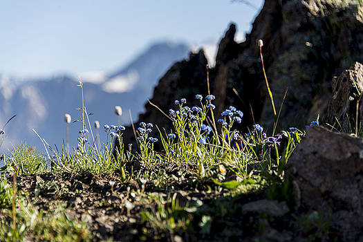 Flowers in mountain by Alexey Seafarer