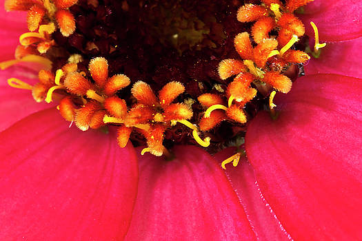 Sandra Foster - Flowers Within The Flower - Zinnia Macro