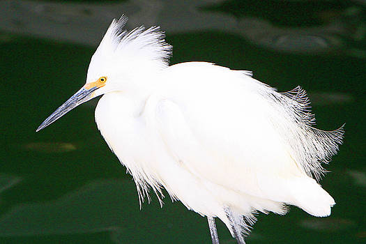 Fluffed Up Egret by Shoal Hollingsworth