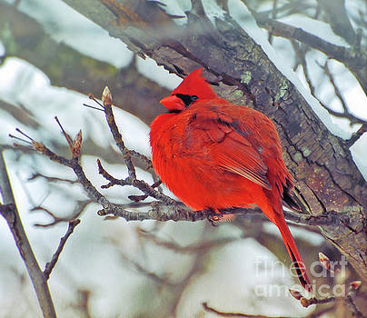 Fluffed Up Male Cardinal by Kerri Farley