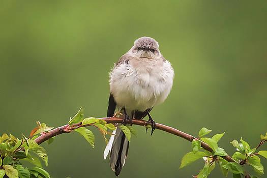 Terry DeLuco - Fluffy Mockingbird