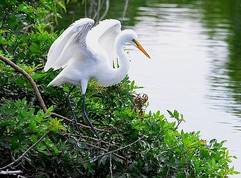 Patricia Twardzik - Fluttering Great Egret
