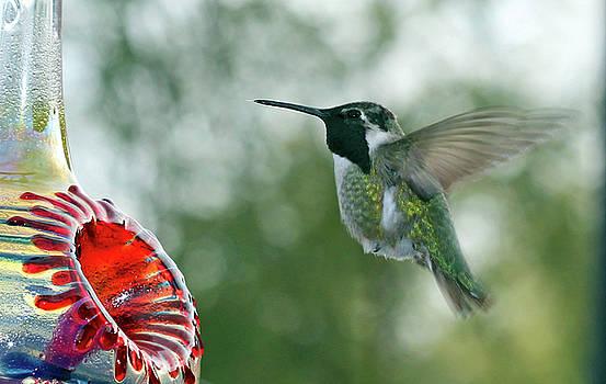 Hummingbird - Fly Little One by Kip Krause