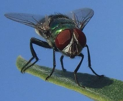 Fly on leaf by Bill Vernon