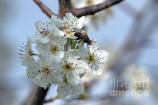 Fly on white buds by Diane Friend
