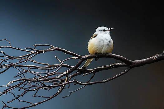 Flycatcher by Susan Schmidt
