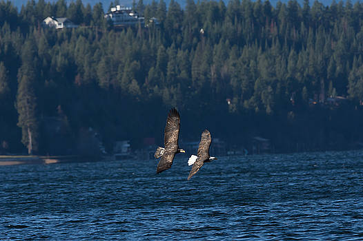 Flying Bald Eagles by John Pavolich