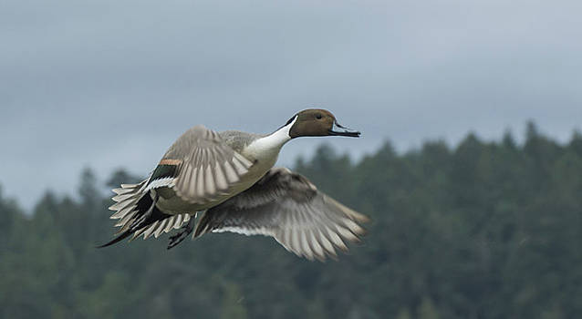 Flying Northern Pintail Duck by Marilyn Wilson